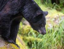 Svart björn som söker efter laxen Arkivfoto
