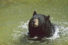 Svart björn som simmar i dammet  Royaltyfri Bild