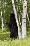 Svart björn som skrapar hans baksida på ett björkträd Arkivfoton
