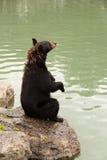Svart björn som upp sitter sidosikt Royaltyfria Bilder