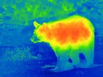 Svart björn vid den termiska kameran Fotografering för Bildbyråer