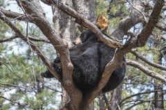 Svart björn i ett träd Royaltyfri Fotografi