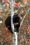 Svart björn i ett träd Arkivfoto