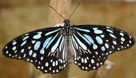 svart blå fjäril Royaltyfri Foto