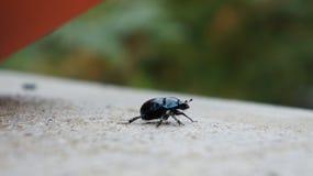 Svart/blått Bettle Arkivbilder