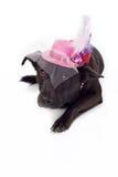 Svart blandad avelhund med den utsmyckade Fascinator hatten royaltyfri fotografi