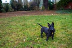Svart blandad Terrier hund utomhus Royaltyfri Foto