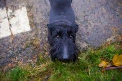 Svart blandad Terrier hund utomhus Royaltyfria Bilder