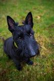 Svart blandad Terrier hund utomhus Royaltyfri Bild