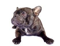 Svart blandning för fransk bulldogg Arkivfoto