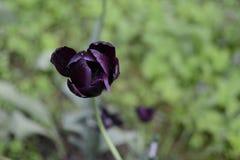 svart blomma Royaltyfria Bilder