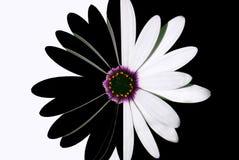 svart blommawhite Royaltyfria Bilder