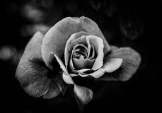 svart blommawhite royaltyfri fotografi