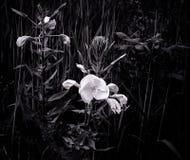 svart blommawhite Arkivfoton