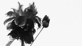 svart blommawhite Royaltyfria Foton