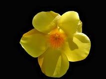 svart blommayellow Arkivbild