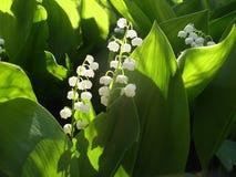 svart blomstra closeup isolerad liljadal för bakgrund Arkivfoton