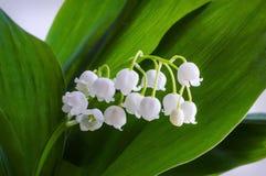 svart blomstra closeup isolerad liljadal för bakgrund Fotografering för Bildbyråer
