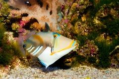 Svart-bomma för, eller Picasso startar fisken Fotografering för Bildbyråer