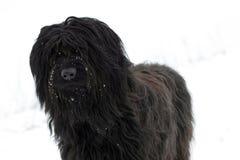svart briardhund Arkivbilder