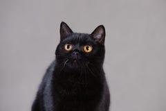 svart brittisk katt Arkivbild