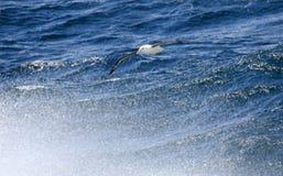 Svart-browed albatross ovanför bränningen Uddehorn, Antarktis härligt dimensionellt diagram illustration södra tre för 3d Amerika arkivfoto