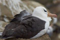 Svart-browed albatross som bygga bo - Falkland Islands Arkivfoton