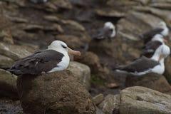 Svart-browed albatross som bygga bo på Falkland Islands Royaltyfria Foton