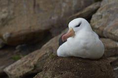 Svart-browed albatross som bygga bo på Falkland Islands Arkivbilder