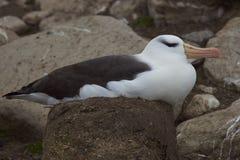 Svart-browed albatross som bygga bo på Falkland Islands Arkivbild