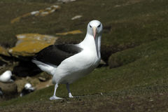 svart browed för albatross Royaltyfri Foto
