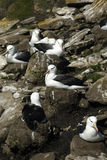 svart browed för albatross Arkivfoton