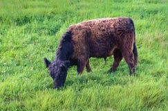 Svart brun Galloway tjur som betar på lutningen av en invallning Royaltyfria Bilder