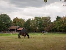 Svart brun häst i fält som äter gräslandet inga personer Royaltyfria Bilder