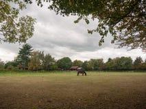 Svart brun häst i fält som äter gräslandet inga personer Arkivfoto