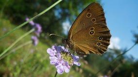 svart brun prickig fjärilsmatning Arkivfoto