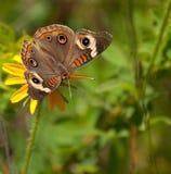 svart buckeye fjäril synade susan Royaltyfria Foton