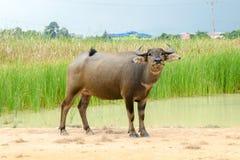 svart buffel Royaltyfria Bilder