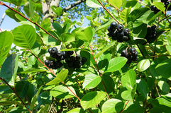 Svart buske för chokeberry (aroniamelanocarpa) med mogna bär royaltyfri bild