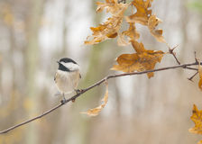 Svart-Capped Chickadee fotografering för bildbyråer