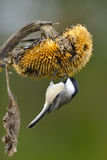 svart capped chickadee a1 arkivfoto