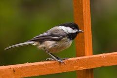 Svart-capped Chickadee (den Poecile atricapillusen). arkivfoto