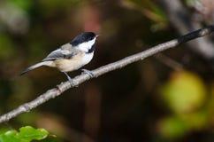 Svart-Capped Chickadee Perched i en Tree Royaltyfria Foton