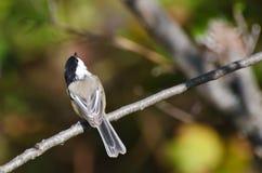 Svart-Capped Chickadee Perched i en Tree Royaltyfria Bilder