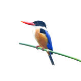 Svart-capped Kingfisher royaltyfria bilder
