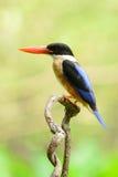 Svart-capped Kingfisher (den Halcyon pileataen) arkivbilder