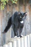 Svart cat/Fillimon Arkivfoton