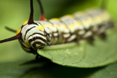 svart caterpillar som äter swallowtail Royaltyfria Foton