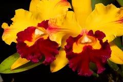 svart catt blommar orchids Royaltyfri Foto