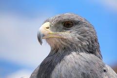 Svart-chested vråk-Eagle på marknaden i Maca, Colca kanjon, Royaltyfri Bild